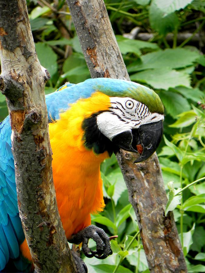 Tropical Photograph - Macaw by Michael Caron