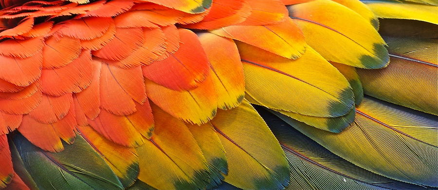 Feathers Photograph - Macaw Yellow by Colleen Renshaw