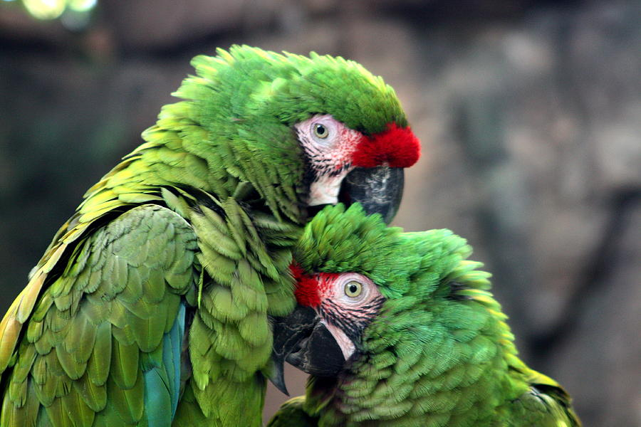 Macaw Photograph - Macaws In Love by Diane Merkle