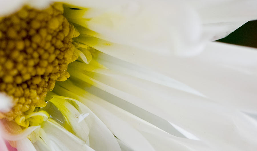 Flower Photograph - Macro Daisy by John Holloway