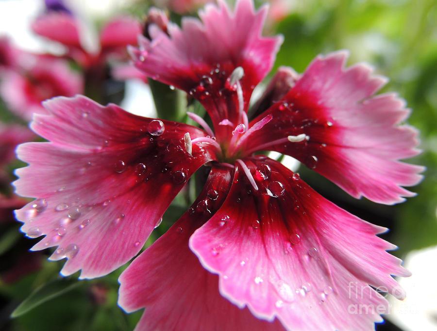 Macro Dianthus Photograph