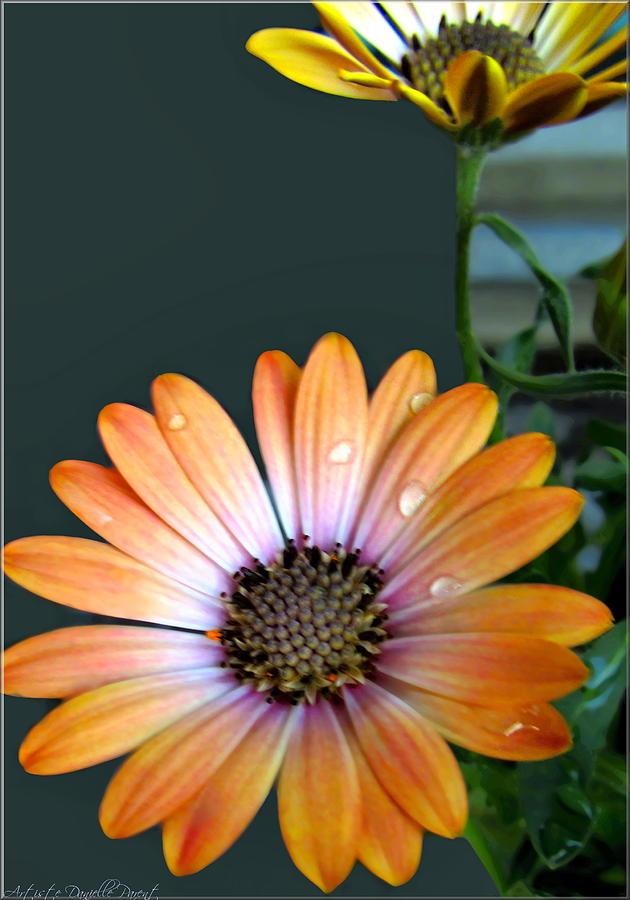 Hamilton Photograph - Macro Orange And Yellow Daisies With Water Droplets by Danielle  Parent