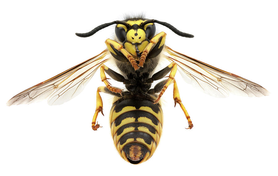 Macro Photo Of A Black And Yellow Wasp Photograph by Efilippou