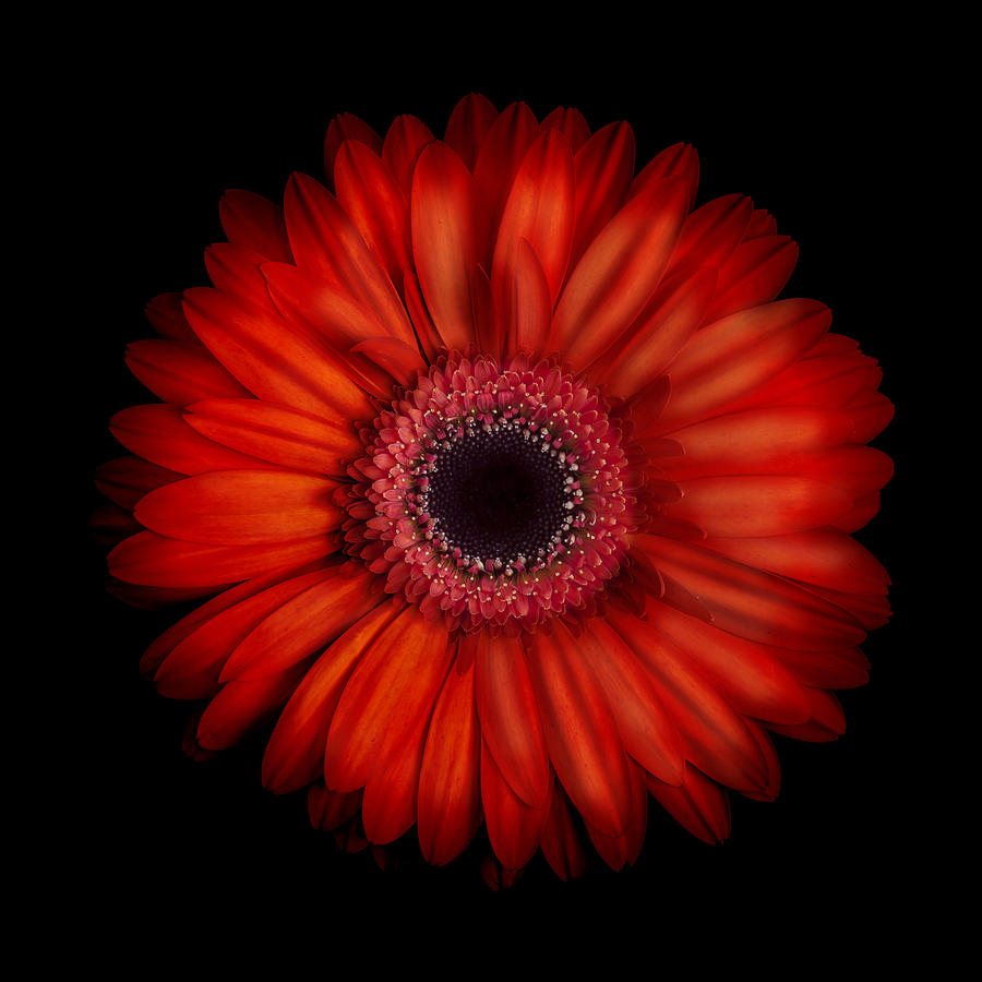 red daisy flower hd - photo #35