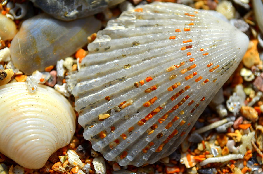 Shell Photograph - Macro Shell On Sand 4 by Riad Belhimer