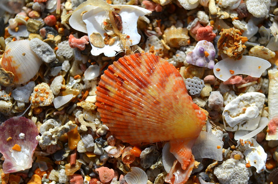 Shell Photograph - Macro Shell On Sand by Riad Belhimer