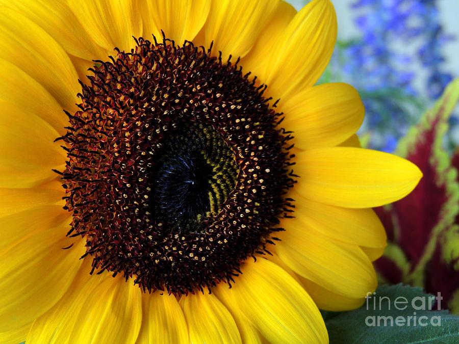 Sunflower Photograph - Macro Sunflower by Kristine Widney