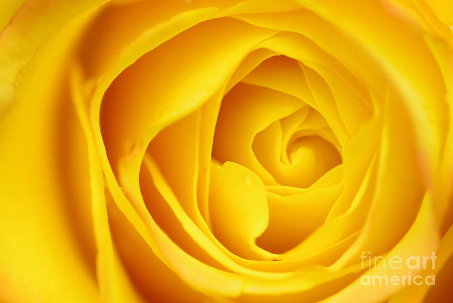Flower Photograph - Macro Yellow Rose by Patrick Dinneen