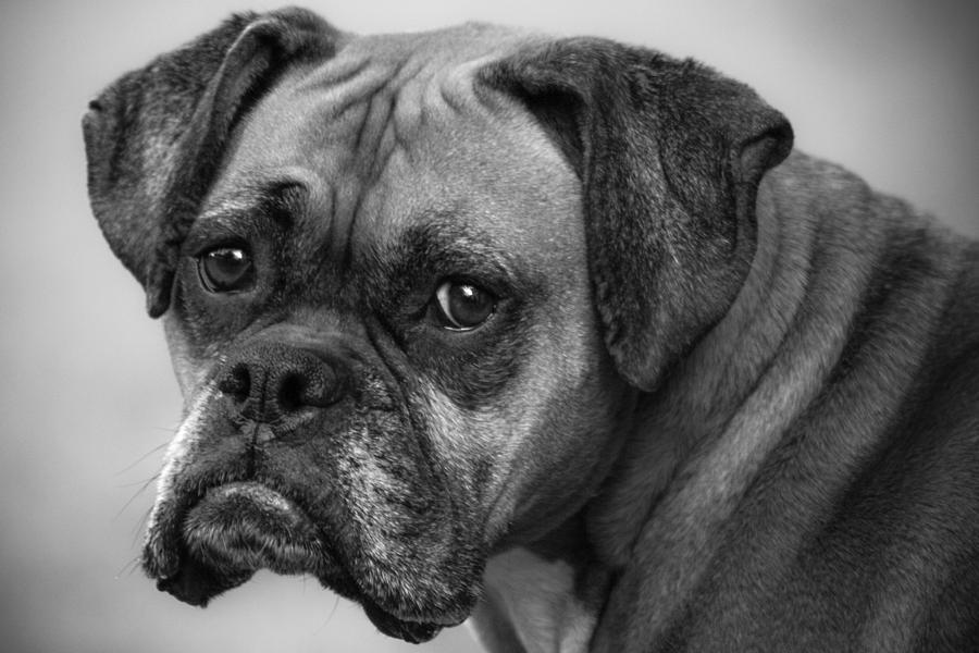 Boxer Photograph - Macy by Jeff Mize