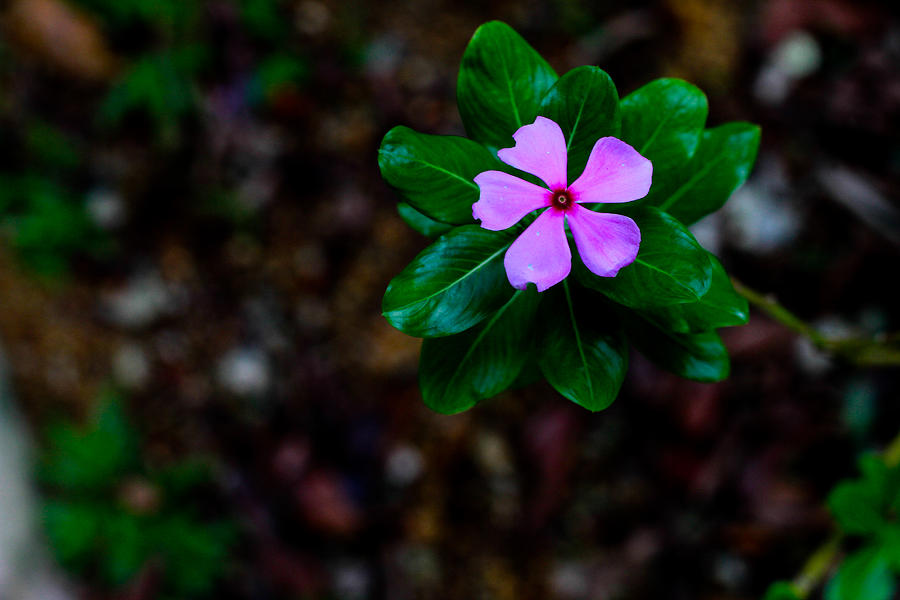 Madagascar Periwinkle Photograph - Madagascar Periwinkle Singapore Flower by Donald Chen