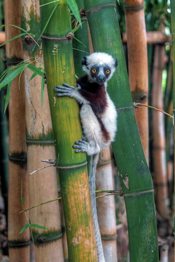 Madagascar Sifaka Baby Lemur Photograph by Mariusz Kluzniak