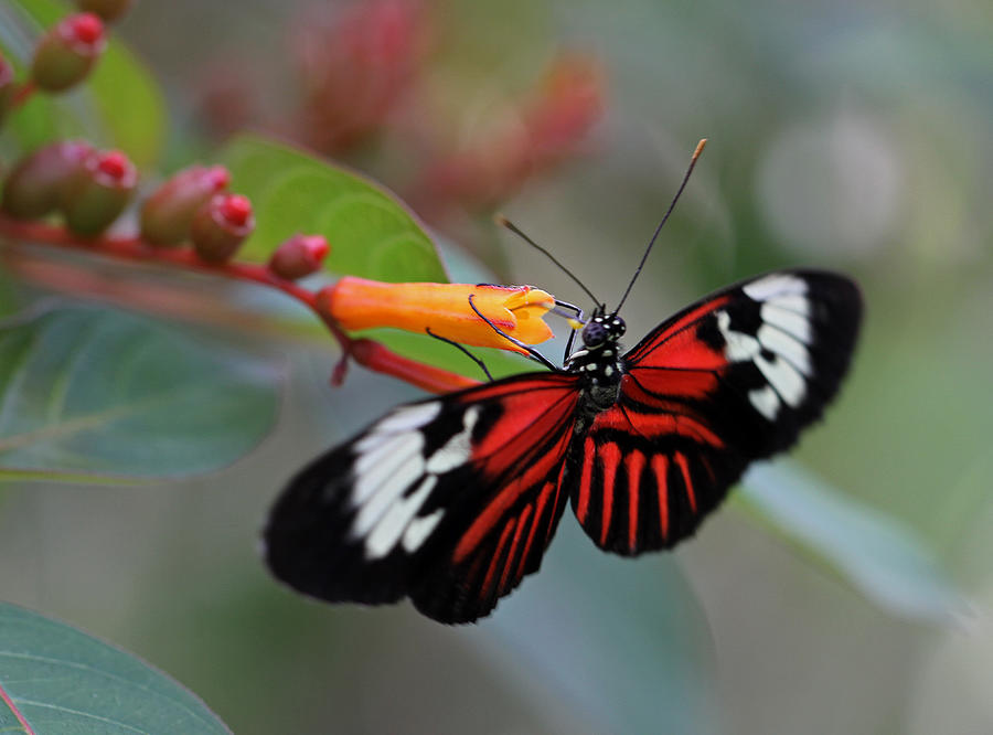 Butterfly Photograph - Madiera Butterfly by Juergen Roth