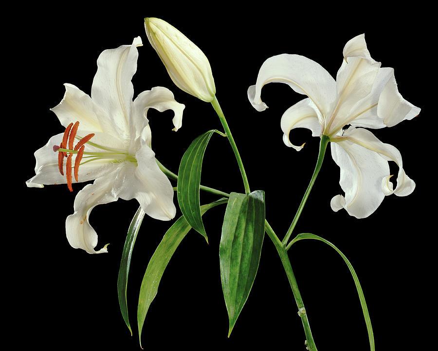 Lilium Candidum Photograph - Madonna Lily (lilium Candidum) by Gilles Mermet