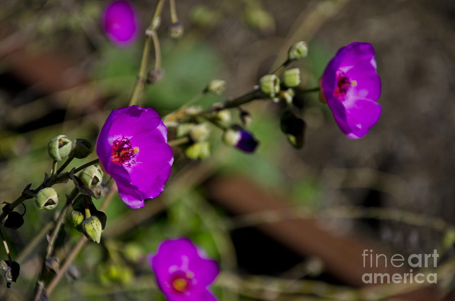 Magenta Photograph - Magenta Flowers by Aaron Fromenthal