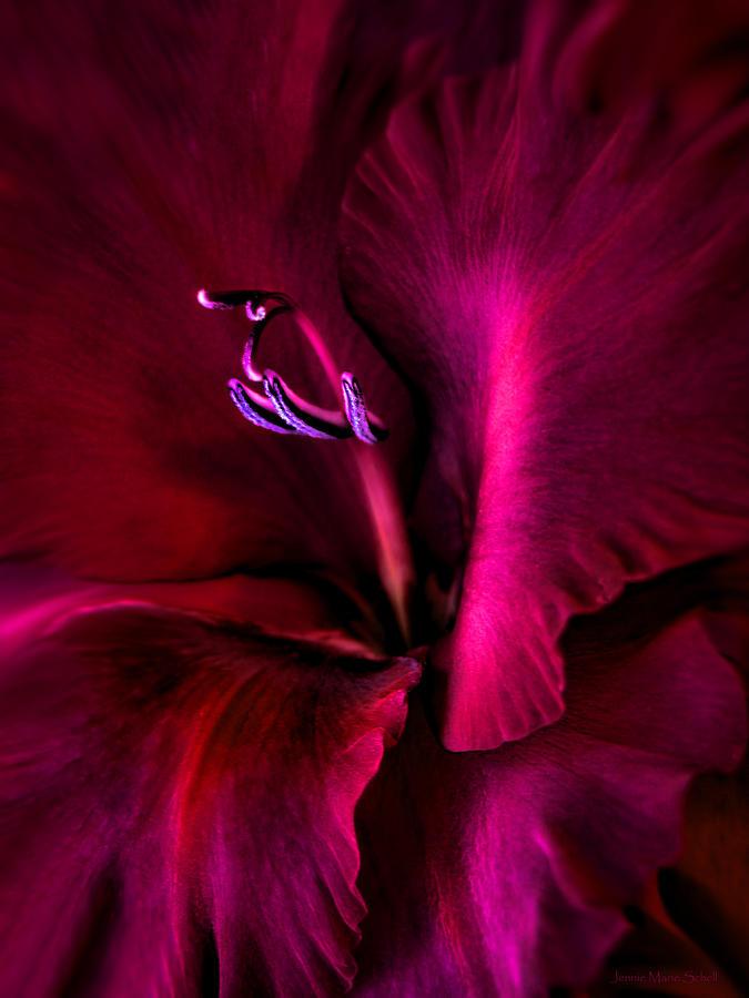 Gladiola Photograph - Magenta Gladiola Flower by Jennie Marie Schell
