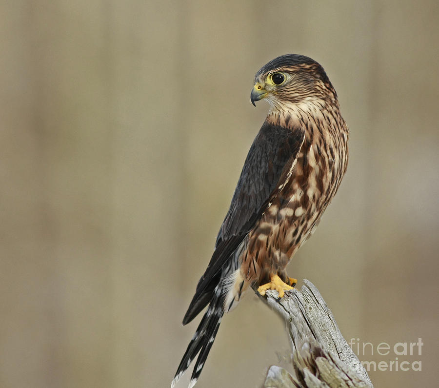 Raptor Photograph - Magical Moments With Merlin by Inspired Nature Photography Fine Art Photography