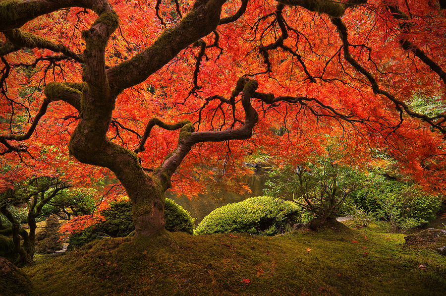 Japanese Maple Photograph - Magical Tree by Bjorn Burton