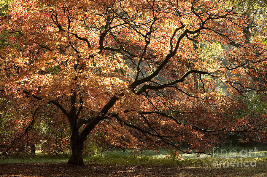 Acer Photograph - Magnificent Autumn by Anne Gilbert