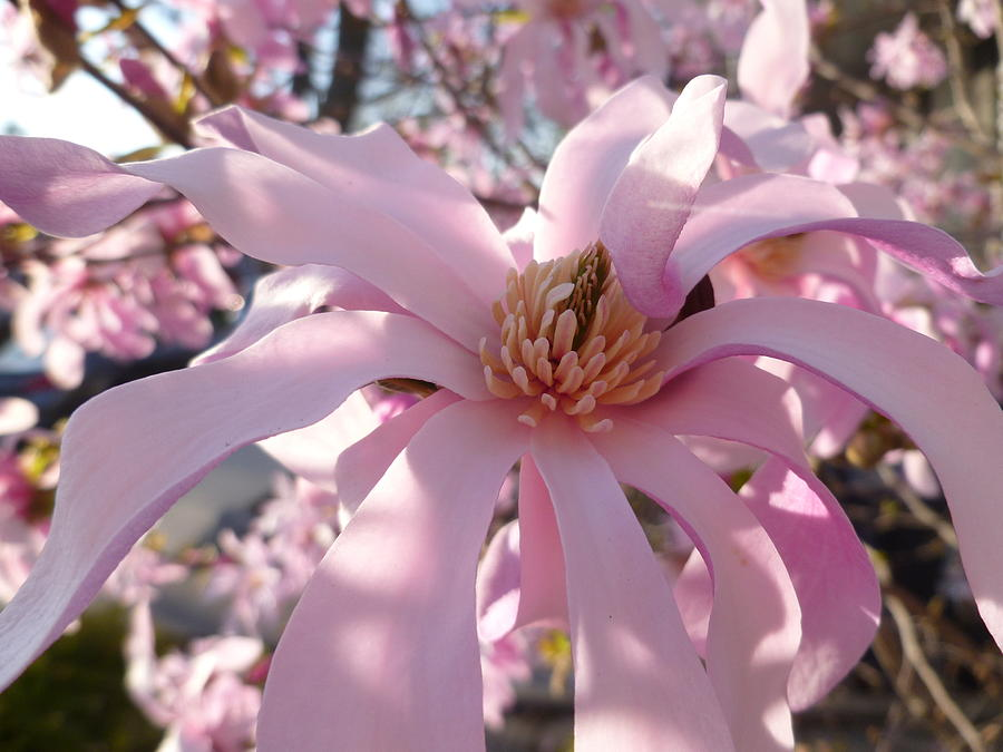 Plant Photograph - Magnificent Pink Infusion by Lingfai Leung