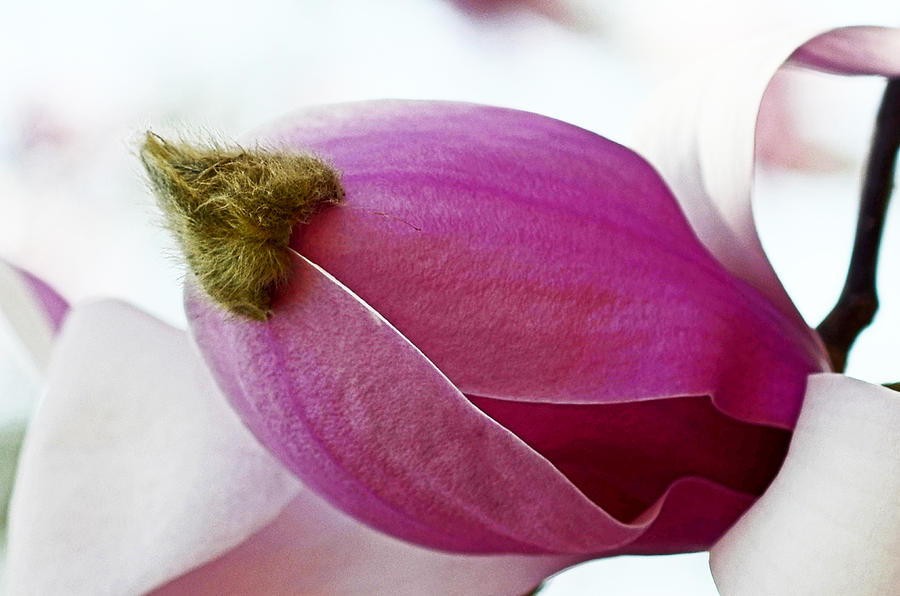 Magnolia Tree Photograph - Magnolia Blossom With Cap by Lisa Phillips