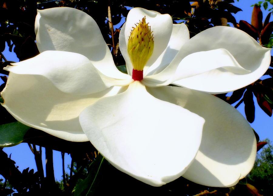 Magnolias Photograph - Magnolia Carousel by Karen Wiles