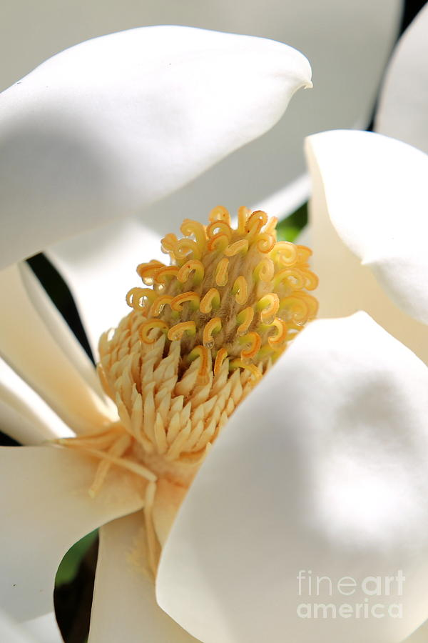 Magnolia Photograph - Magnolia Center by Carol Groenen