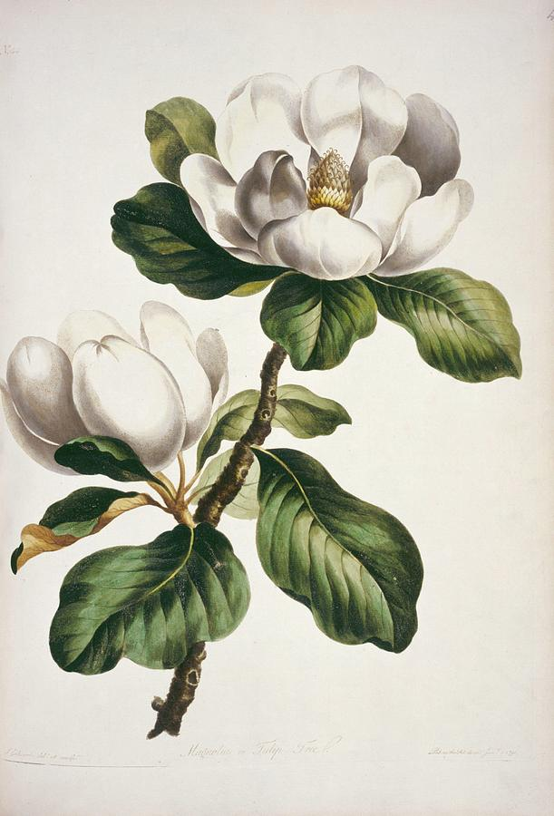 Magnolia Flowers Photograph By Natural History Museum London Science Photo Library