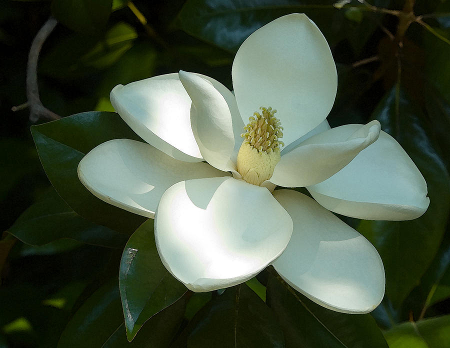 Botanical Photograph - Magnolia by Frank Tozier
