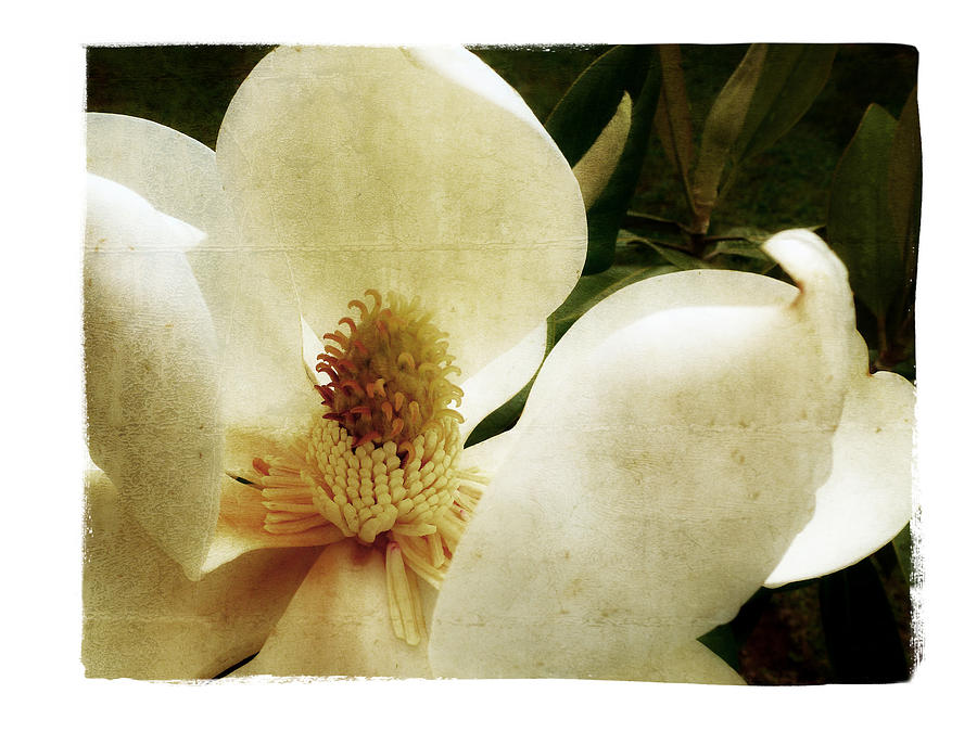Magnolia Photograph - Magnolia I by Tanya Jacobson-Smith