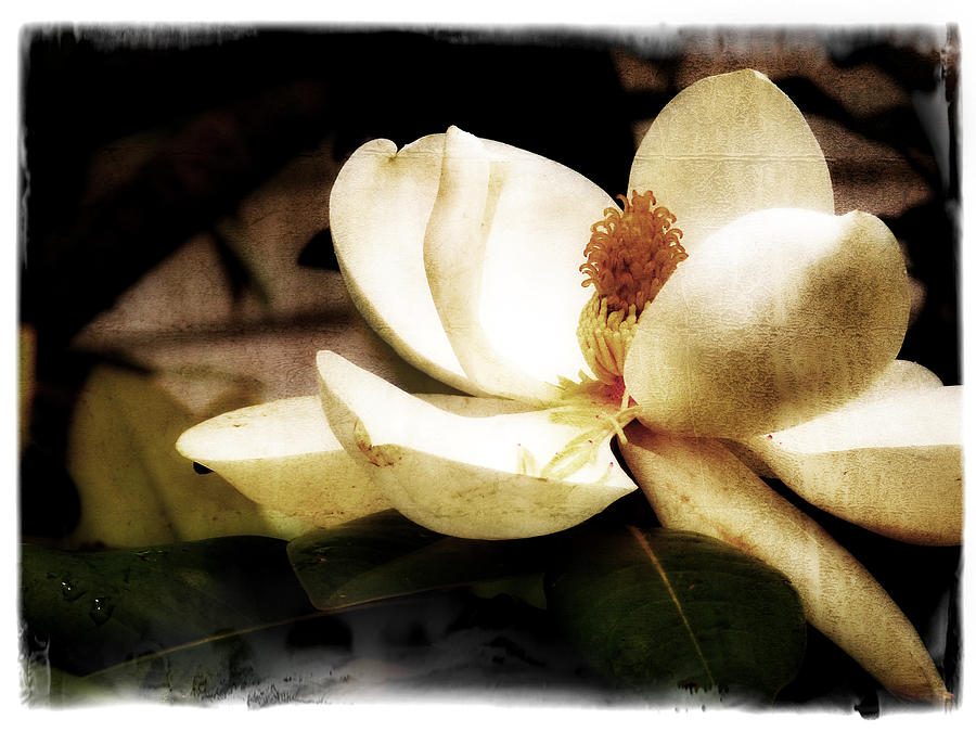 Magnolia Photograph - Magnolia IIi by Tanya Jacobson-Smith