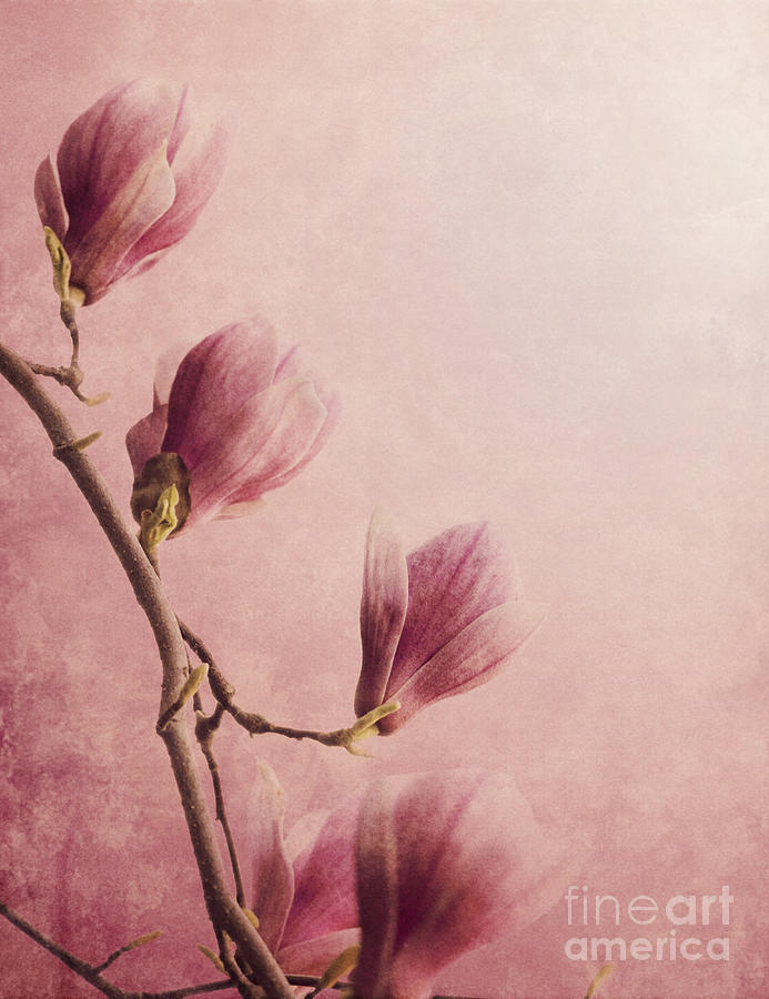 Magnolia On Pink Background Photograph