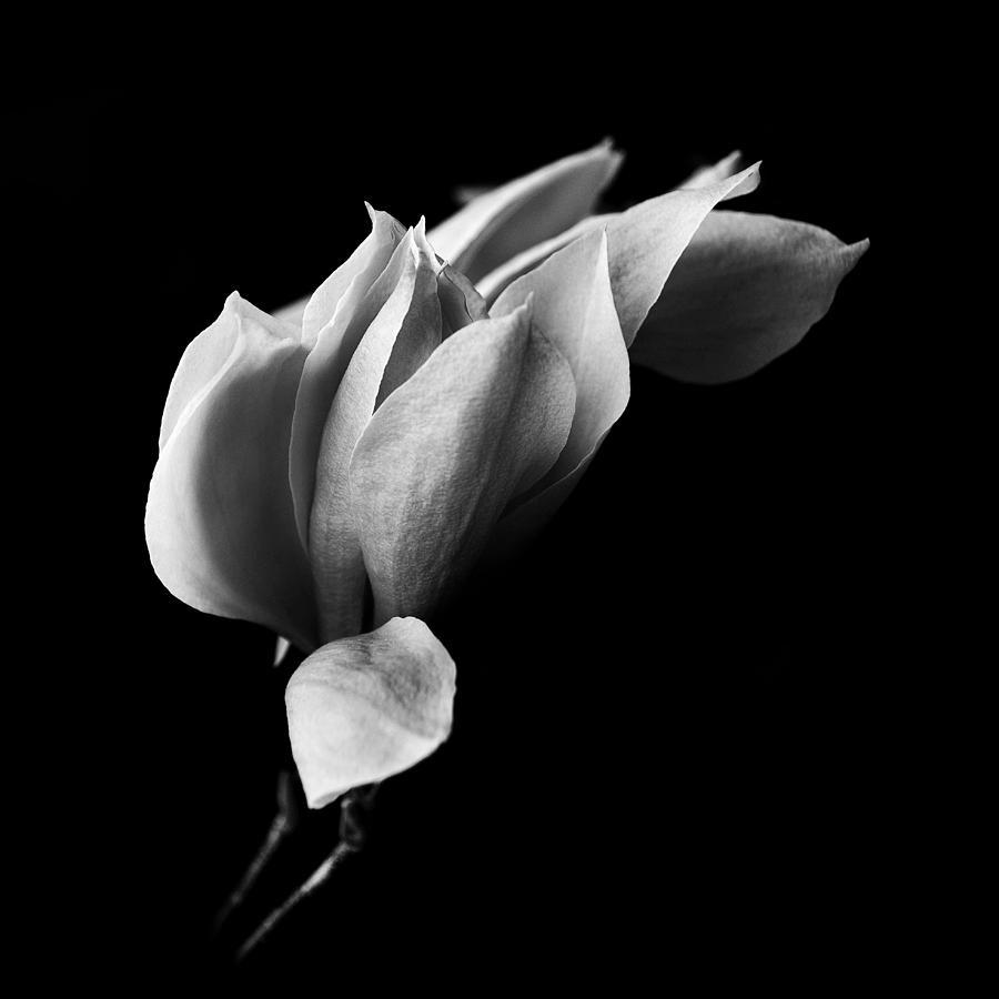 Black And White Photograph - Magnolia by Mayumi Yoshimaru