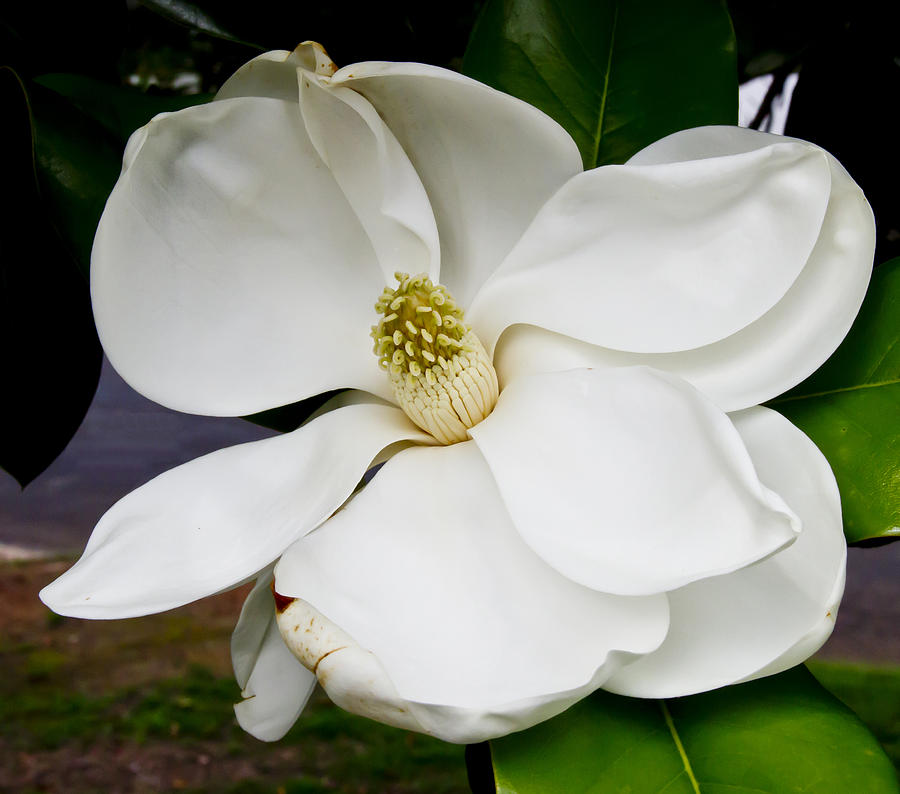 Magnolia Photograph - Magnolia One by Paul Anderson