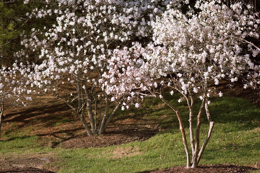 Magnolia Stellata Royal Star Trees Photograph By Maria Mosolova