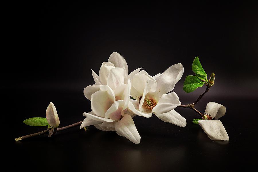 Flowers Photograph - Magnolia by Tony08