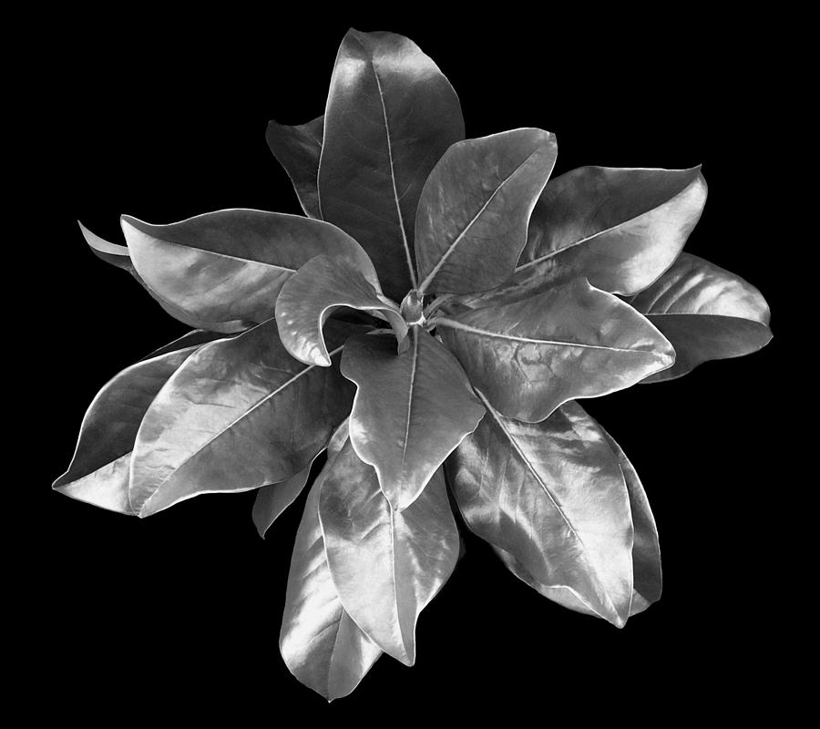 Magnolia Photograph - Magnolia Tree Leaves by Marilyn Hunt