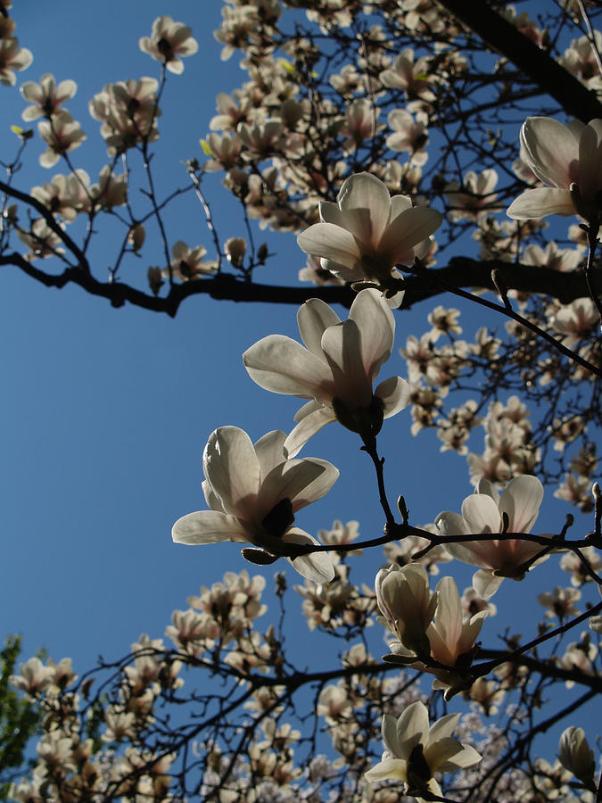 Flower Photograph - Magnolia Tree by Rita Haeussler