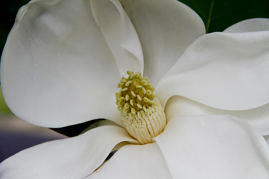 Magnolia Photograph - Magnolia Two by Paul Anderson