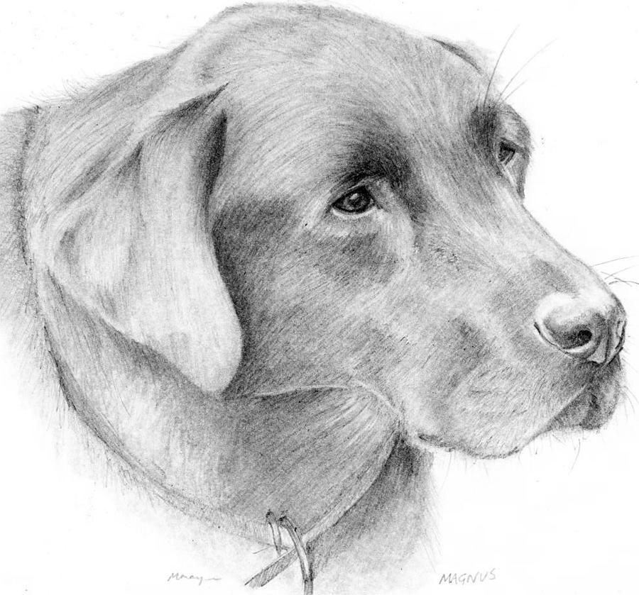 Labrador Drawing - Magnus by Mary Mayes