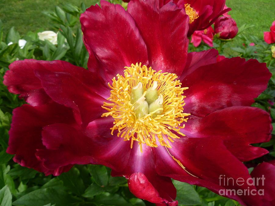 Flower Macro Photograph - Mahogany Peony by Lingfai Leung
