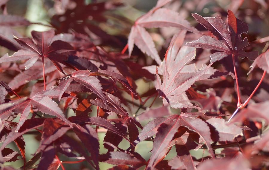 Autumn Photograph - Maine Maple Leaves by Lena Hatch