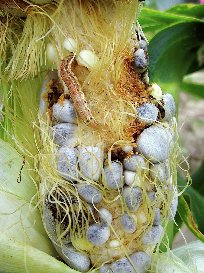 Maize Photograph - Maize Cob Infected With Corn Smut by Eric Schmelz/us Department Of Agriculture