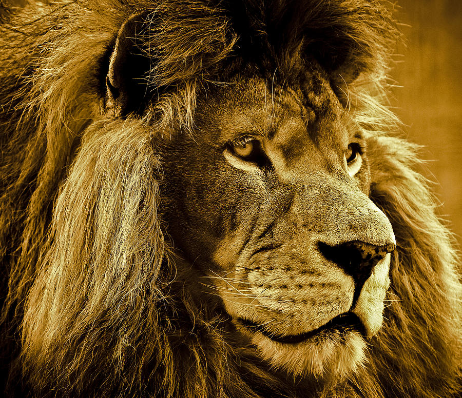 Lion Photograph - Soul Searching by Annette Hugen