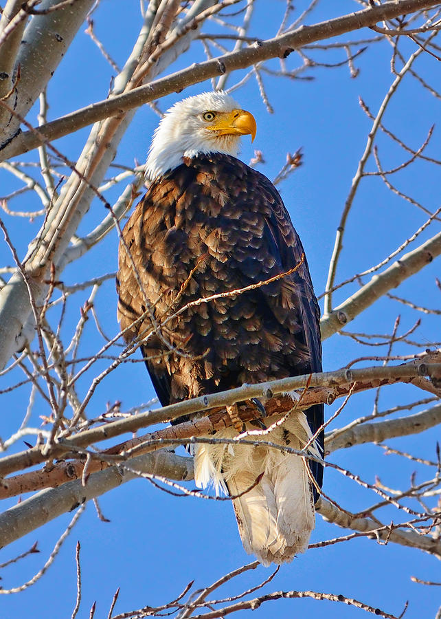 Bald Eagle Photograph - Majestic Bald Eagle by Greg Norrell