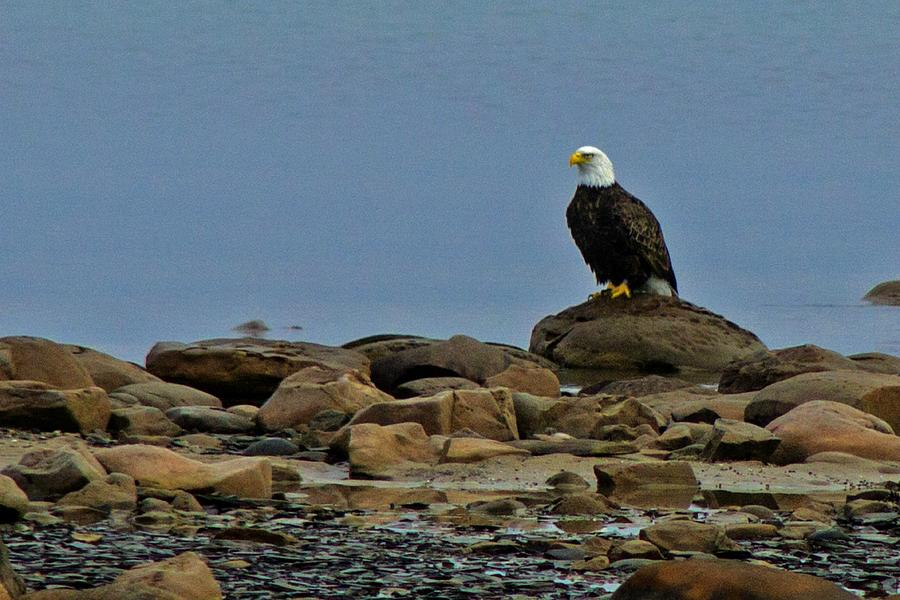 Bird Photograph - Majestic Bald Eagle by Rhonda Humphreys
