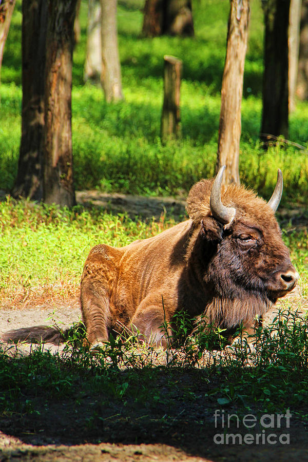 Polish Photograph - Majestic Bison by Mariola Bitner