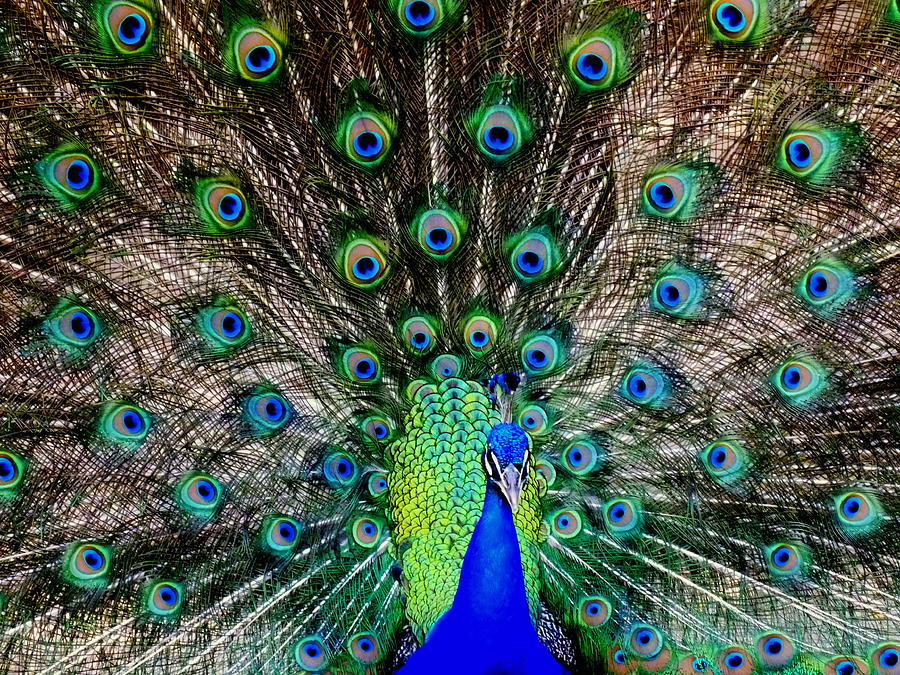 Peacocks Photograph - Majestic Blue by Karen Wiles