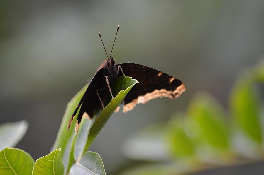 Nature Photograph - Majestic Butterfly by Steve La Motte