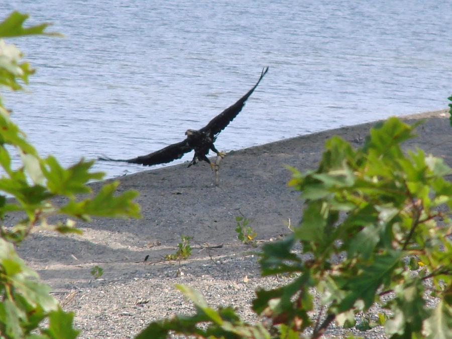 Eagle In Flight Photograph - Majestic Dining by Kristina Mitchell