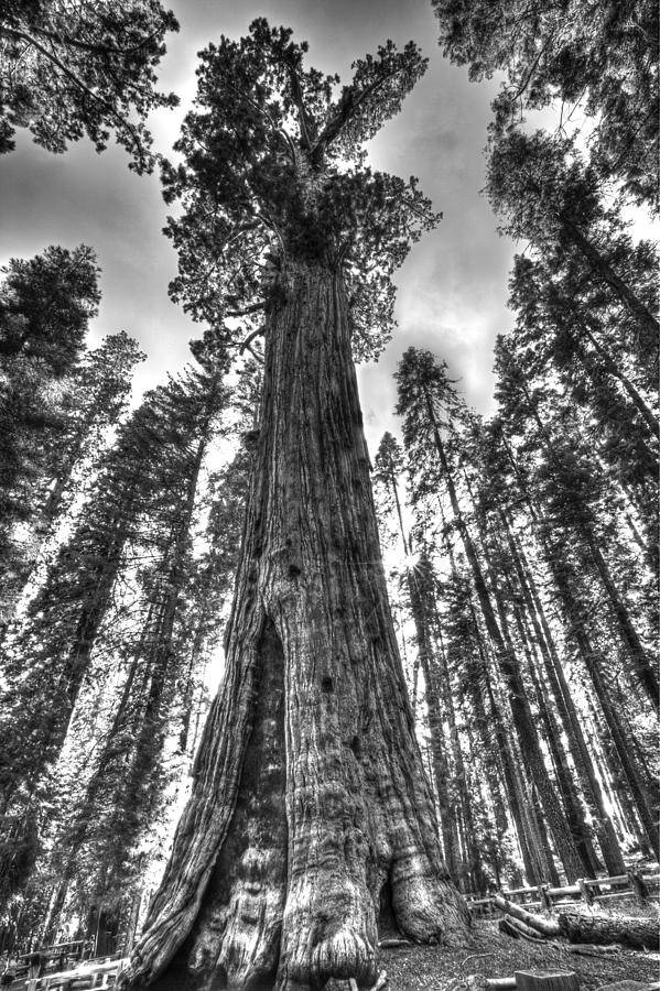 Sequoia National Park Photograph - Majestic Giant by Tony Santo